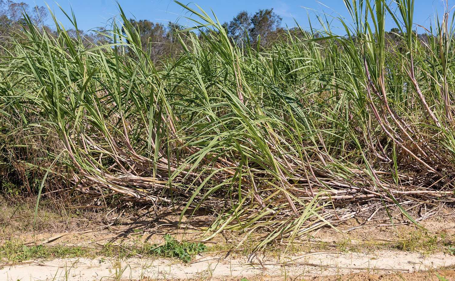 Brothers John L. and Johnny M. Green suffered damage to their sugar cane crop on their Worth County farm.